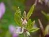 magnolie-fruchtstand