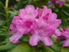 rhododendron_0