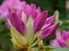rhododendronknospe_0