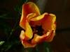 tulpe-orange