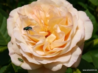 Rose_WZ