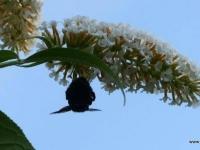 Schmetterlingsflieder_ P1060677